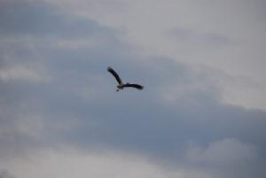 Storch am Sportplatz