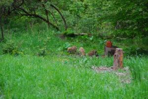 Frischlinge im Wald