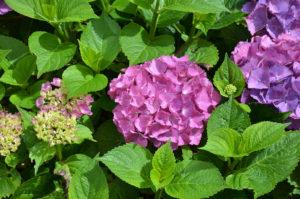Hortensien - In unserem Garten