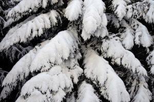 Tanne im Schnee - Hillscheid