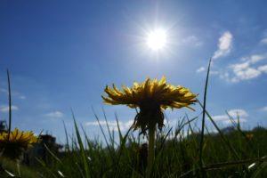 Löwenzahn in der Sonne